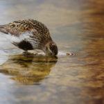 Lintu vedessä